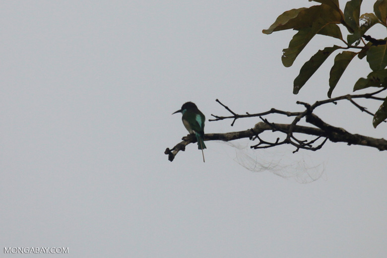 Blue-throated Bee-eater -- sabah_3049