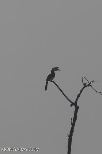 Oriental Pied Hornbill (Anthracoceros albirostris) -- sabah_3063