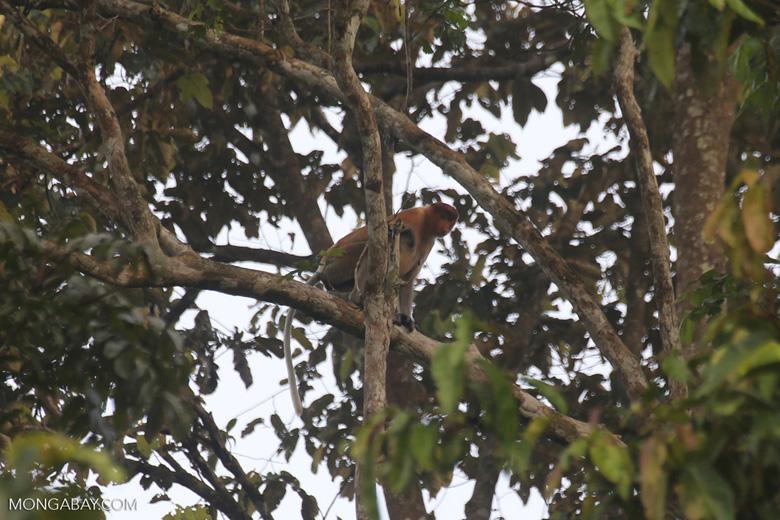 Proboscis monkey -- sabah_3114