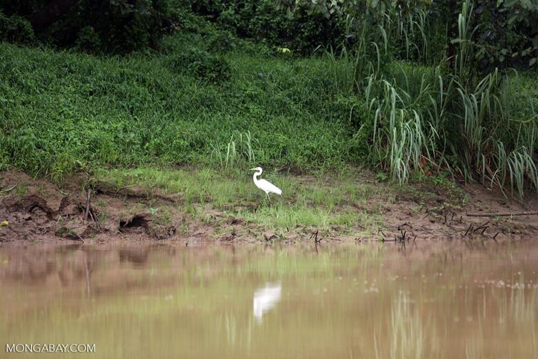 Egret -- sabah_3121