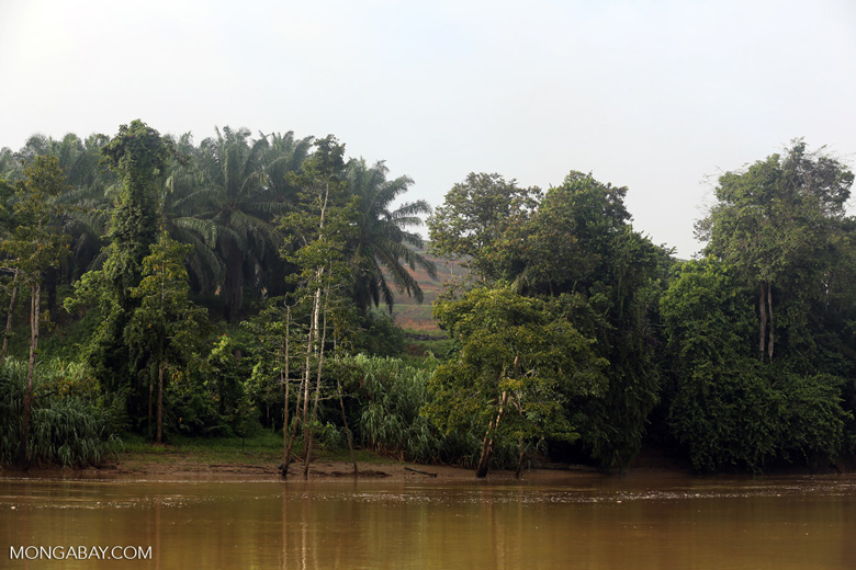 Forest and oil palm along the Kinabatangan River -- sabah_3122
