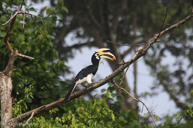 Oriental Pied Hornbill eating fruit