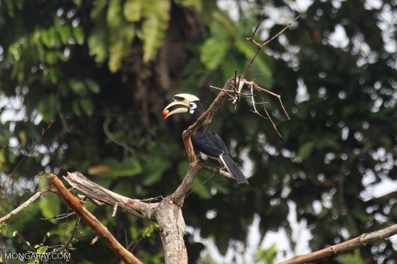 Oriental Pied Hornbill eating fruit -- sabah_3137