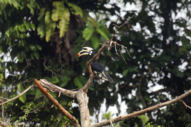 Oriental Pied Hornbill eating fruit -- sabah_3141