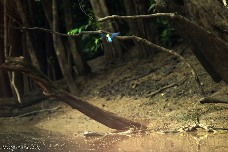 Stork-billed Kingfisher (Pelargopsis capensis) along the Kinabatangan River -- sabah_3147