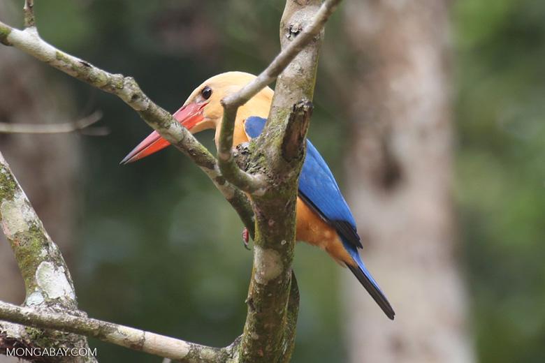 Stork-billed Kingfisher -- sabah_3148