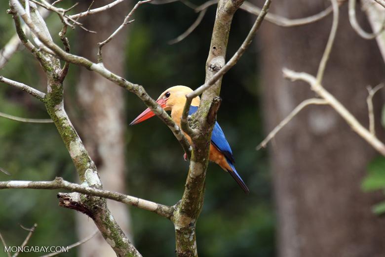 Stork-billed Kingfisher (Pelargopsis capensis) in Borneo -- sabah_3152