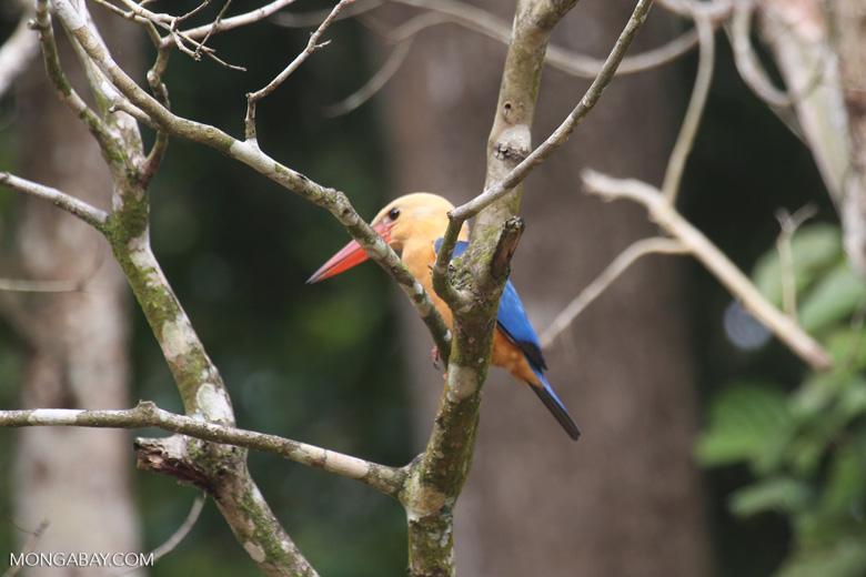 Stork-billed Kingfisher (Pelargopsis capensis) along the Kinabatangan River -- sabah_3153