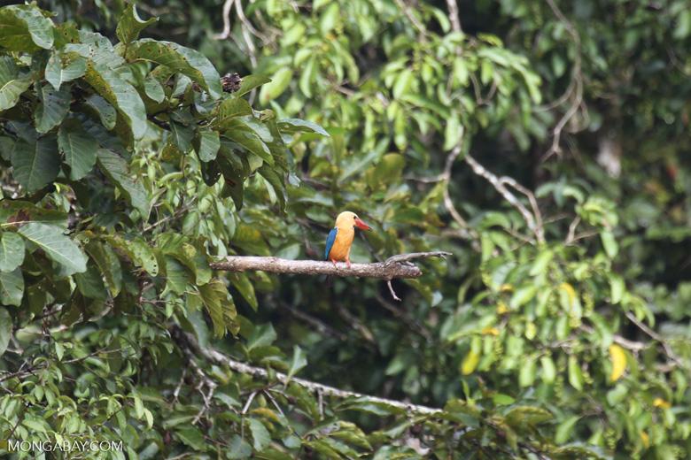 Stork-billed Kingfisher -- sabah_3160