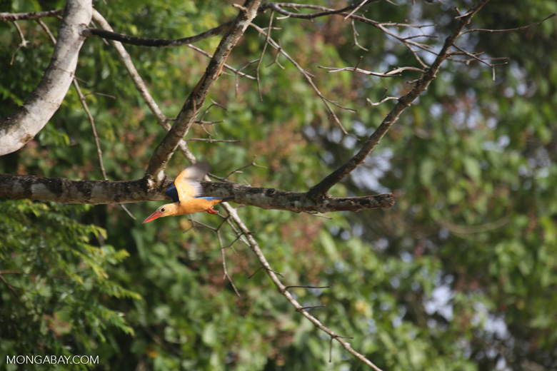 Stork-billed Kingfisher (Pelargopsis capensis) in Borneo