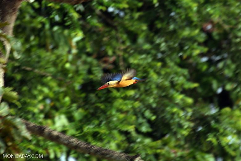 Stork-billed Kingfisher along the Kinabatangan River -- sabah_3182