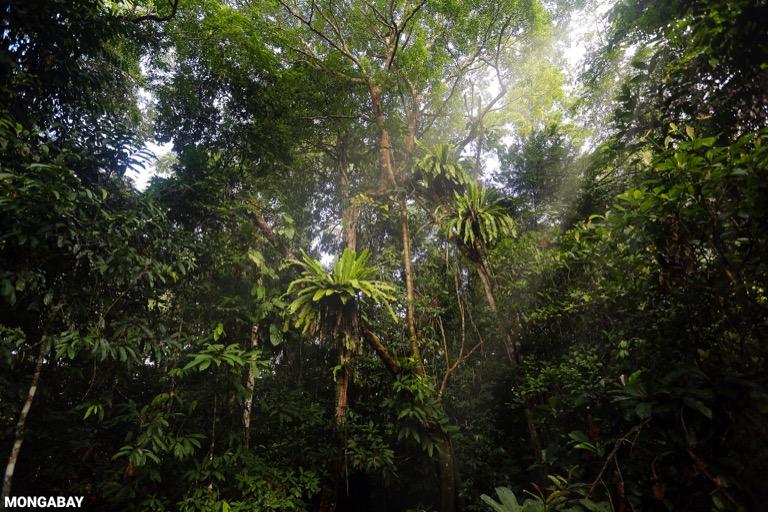 Bird's nest ferns in the Borneo rainforest
