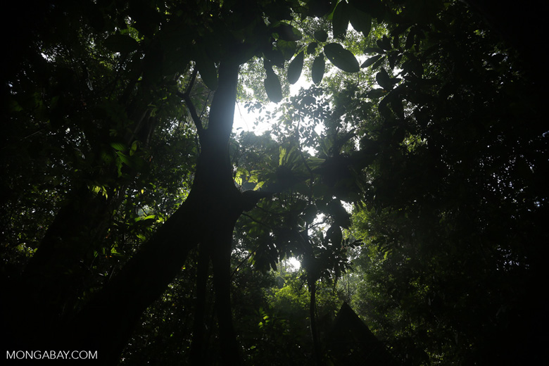 Borneo rainforest canopy -- sabah_3216