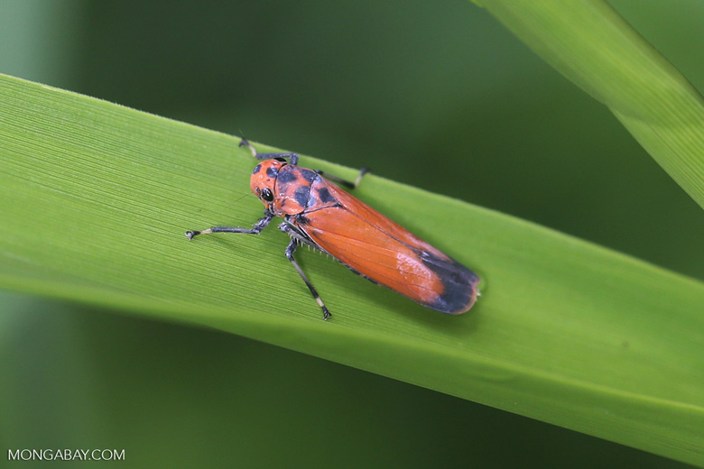 Orange plathopper