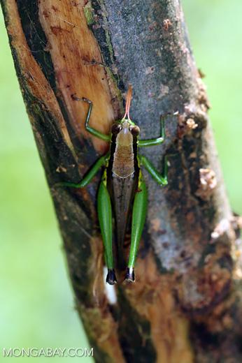 Grasshoppers -- sabah_3295