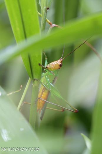 Grasshoppers -- sabah_3301