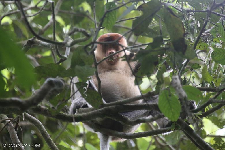 Proboscis monkey -- sabah_3336