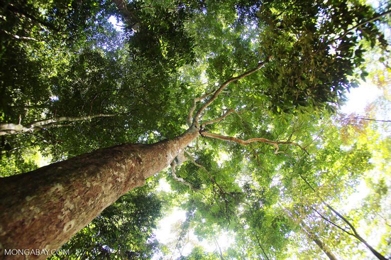 Rainforest dipterocarp -- sabah_3379