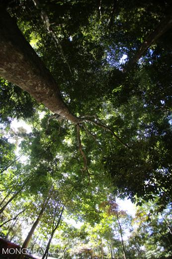 Rainforest dipterocarp -- sabah_3380
