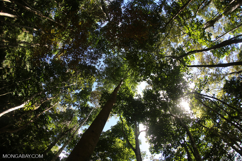 Canopy of the Dipterocarp forest