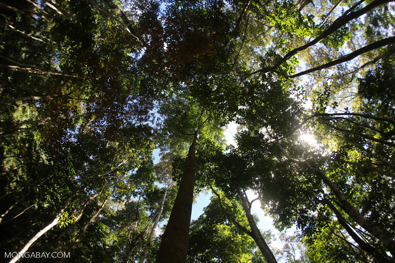 Canopy of the Dipterocarp forest -- sabah_3394