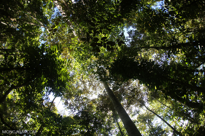 Canopy of the Dipterocarp forest in Borneo