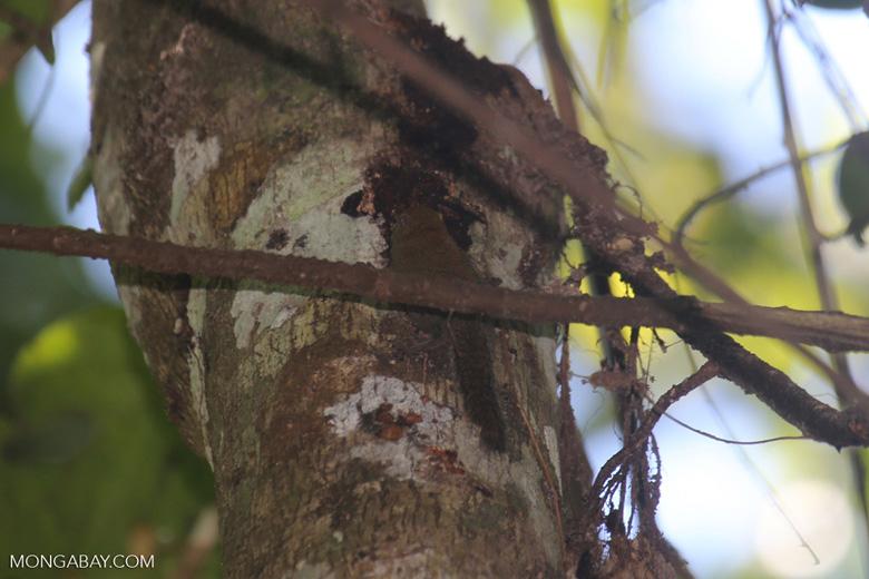 Borneo rainforest squirrel -- sabah_3423
