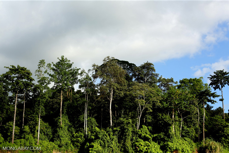 Rainforest along the Kinabatangan river -- sabah_3501