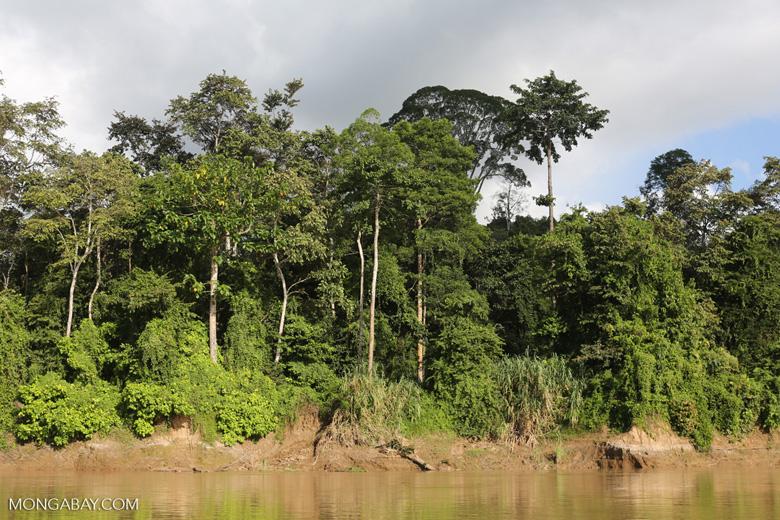 Rainforest along the Kinabatangan river -- sabah_3504