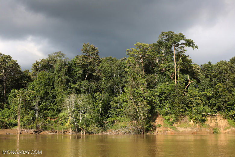 Rainforest along the Kinabatangan river -- sabah_3507