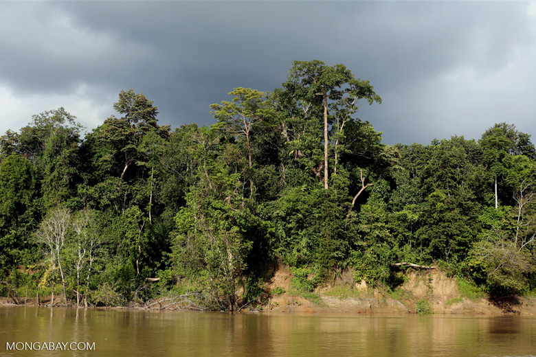 Rainforest along the Kinabatangan river -- sabah_3508