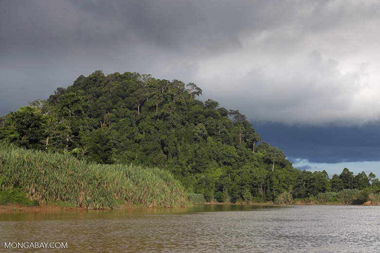 Rainforest above the Kinabatangan river