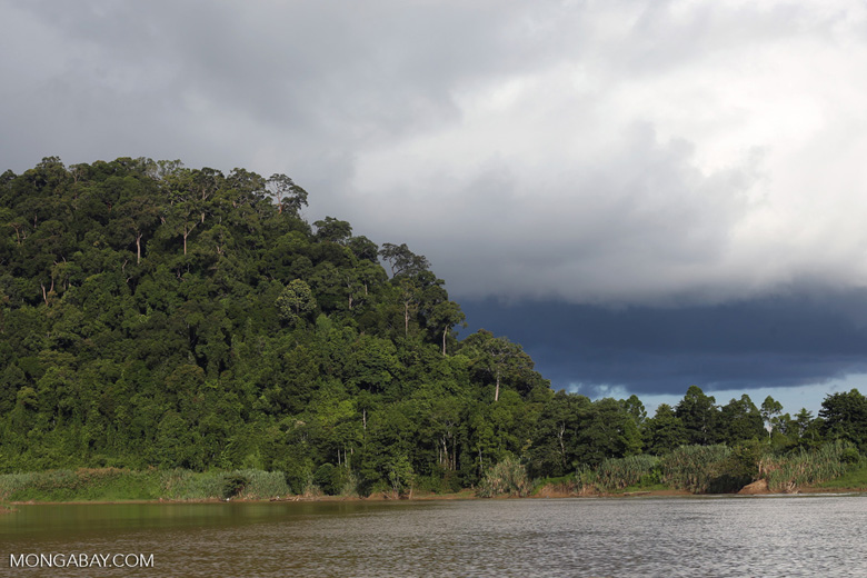 Rainforest above the Kinabatangan river -- sabah_3538