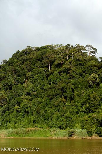 Rainforest above the Kinabatangan river -- sabah_3539