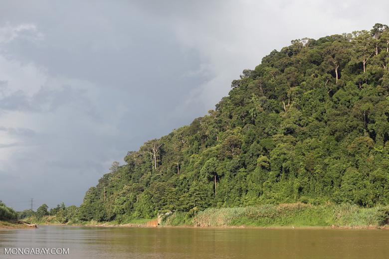 Rainforest above the Kinabatangan river -- sabah_3541