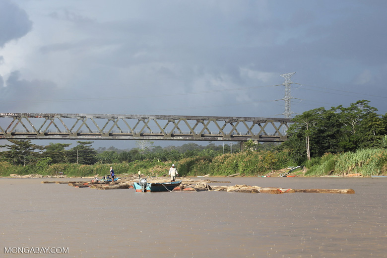 Raw logs being floated down the Kinabatangan river