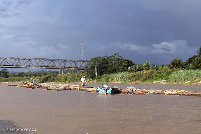 Raw logs being floated down the Kinabatangan river -- sabah_3545
