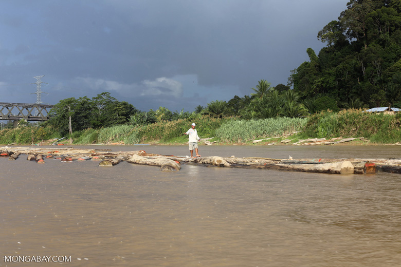 Timber being floated down the Kinabatangan river