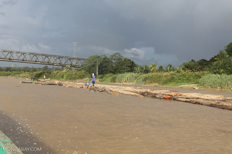 Raw rainforest timber being floated down the Kinabatangan river