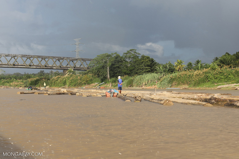 Raw rainforest timber being floated down the Kinabatangan river -- sabah_3550