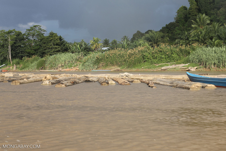 Raw rainforest logs being floated down the Kinabatangan river