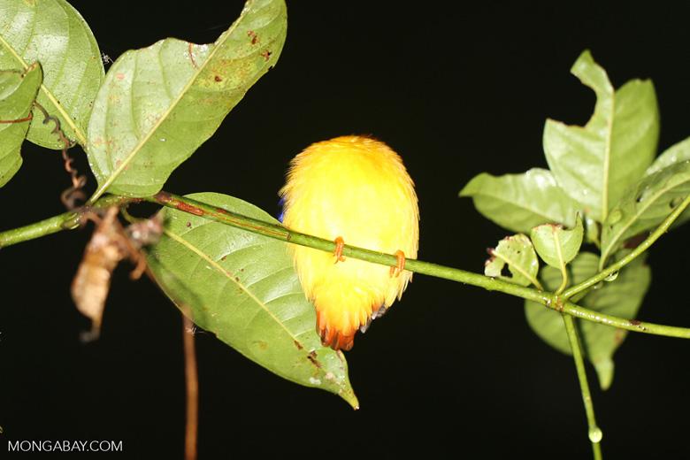 Sleeping kingfisher -- sabah_3619