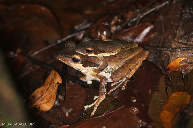 Mating frogs -- sabah_3656