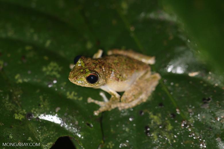 Frog -- sabah_3657