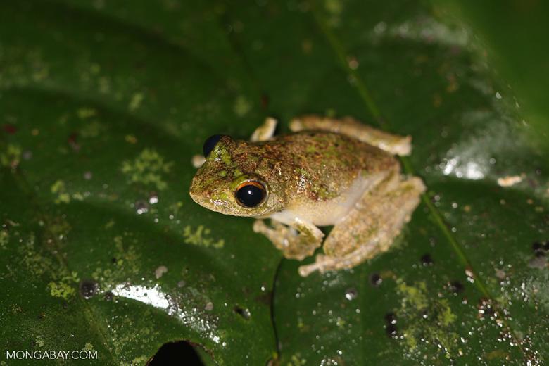 Frog -- sabah_3658