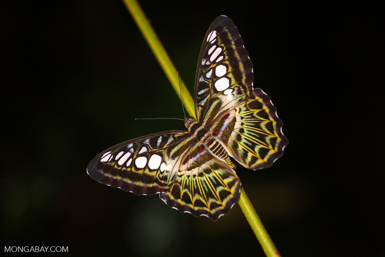 Butterfly -- sabah_3668