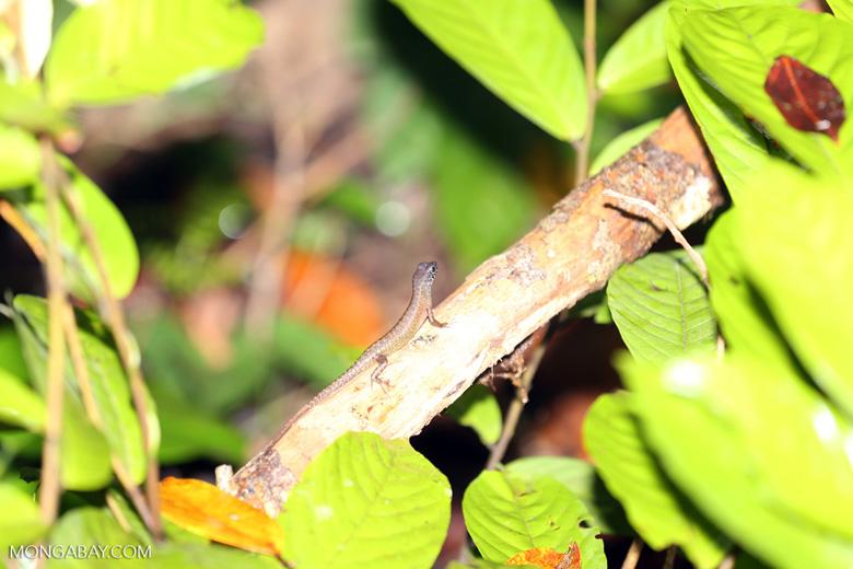 Lizard -- sabah_3706