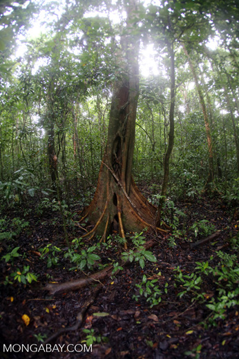 Roots of a rainforest tree -- sabah_3712