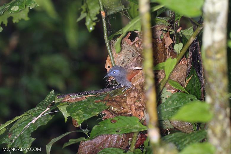 Bird -- sabah_3740