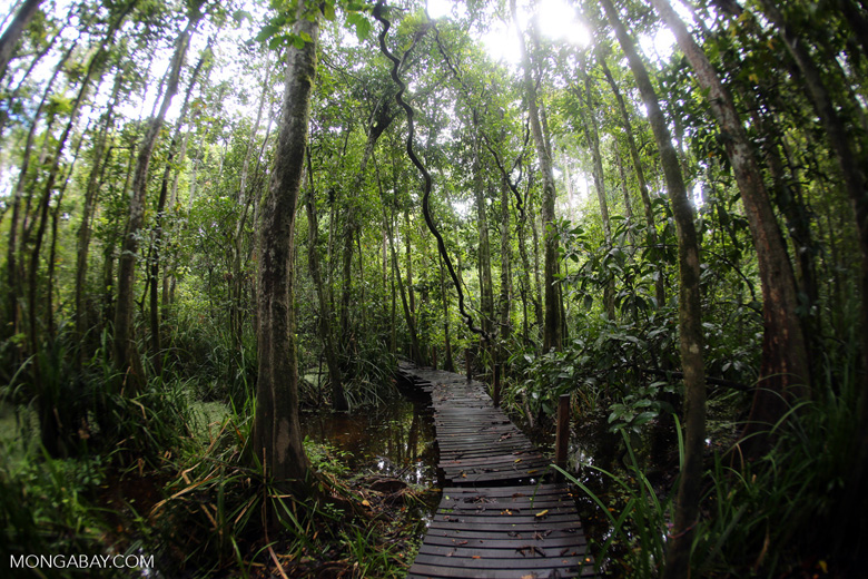 Boardwalk through a peatswamp in Borneo